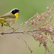 Yellowthroat Warbler Poster