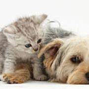 Yorkshire Terrier And Tabby Kitten Poster
