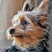 Yorkshire Terrier Dog Pose #2 Poster