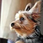 Yorkshire Terrier Dog Pose #5 Poster