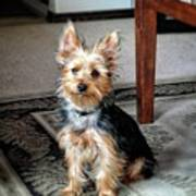 Yorkshire Terrier Dog Pose #6 Poster