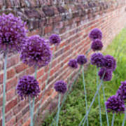 Yorktown Onions Along The Wall Poster