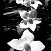 Yosemite Dogwoods Black And White Poster