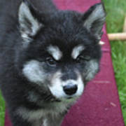 Young Alusky Puppy Standing On A Teeter Totter Poster