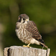 Young American Kestrel Poster