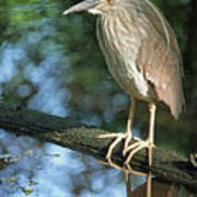 Young Black Crowned Night Heron Poster