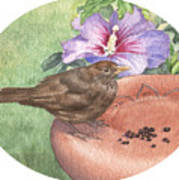 Young Blackbird After Raisins Poster