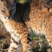 Young Bobcat 01 Poster by Wingsdomain Art and Photography