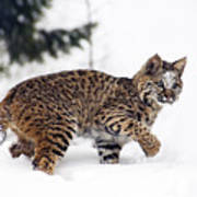 Young Bobcat Playing In Snow Poster by Melody Watson
