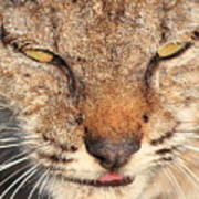 Young Bobcat Portrait 01 Poster