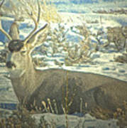 Young Buck Resting Poster