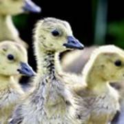 Young Canadian Goose Goslings Poster
