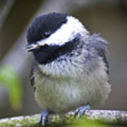 Young Chickadee  Poster