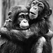 Young Chimpanzees Poster