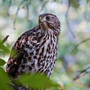 Young Cooper's Hawk Poster