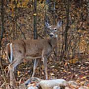 Young Deer Poster