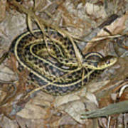 Young Eastern Garter Snake - Thamnophis Sirtalis Poster