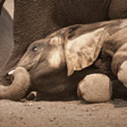 Young Elephant Lying Down Poster