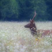 Young Elk In The Smokies. Poster