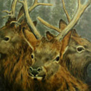 Young Elk Trio- Wapiti Poster