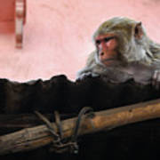 Young Female Asian Monkey Sitting On The Roof Poster