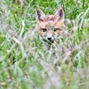 Young Fox Kit Hiding In Tall Grass Poster