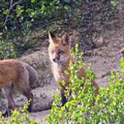 Young Foxes At The Den Poster