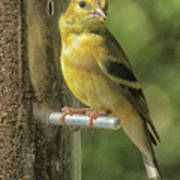 Young Goldfinch Poster