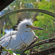 Young Great Egret Poster