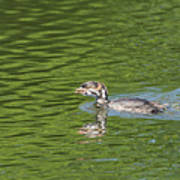 Young Grebe Poster