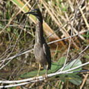 Young Green Heron  Poster