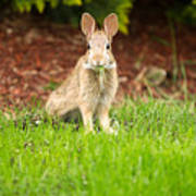 Young Healthy Wild Rabbit Eating Fresh Grass From Yard  Poster