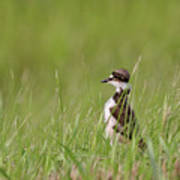 Young Killdeer In Grass Poster