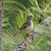 Young Lark Sparrow 2 Poster