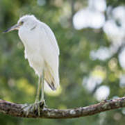 Young Little Blue Heron Poster