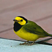 Young Male Hooded Warbler 6 Poster