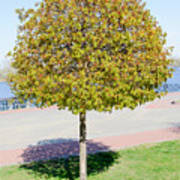 Young Maple Tree Poster