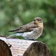 Young Mountain Bluebird Poster