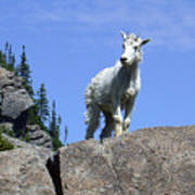 Young Mountain Goat Poster
