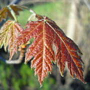 Young Red Maple Leaf In May Poster