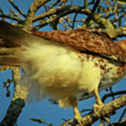 Young Red-tail Poster