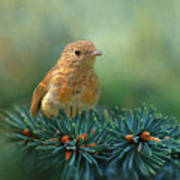 Young Robin On Pine Tree Poster