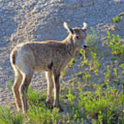 Young Rocky Mountain Bighorn Sheep Poster
