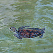 Young Sea Turtle Poster