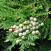 Young Seed Cones Of Lawson Cypress Poster