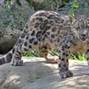 Young Snow Leopard Poster