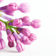 Young Spring Lilac Flowers Blooming Poster