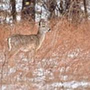 Young White-tailed Deer In The Snow Poster