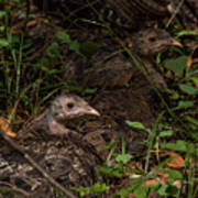 Young Wild Turkeys Poster