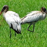 Young Wood Storks 2 Poster